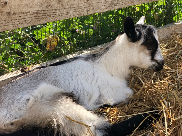 A baby goat at Harley Farms